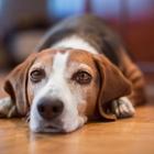 dog lying home