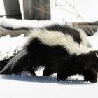 Skunk in the snow