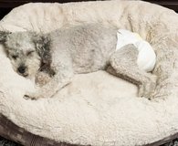 Dog using the best pet diaper