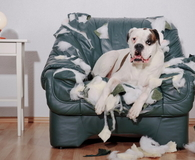 Dog sitting on chewed up leather chair
