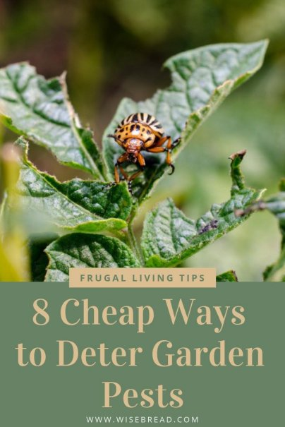 Want to know the best ways to control and deter those darn garden pests that are eating all your vegetables, plants and herbs?  From DIY insect spray, to cornmeal, egg shells and more, these are some cheap and easy tips for your garden! | #DIY #greenthumb #greenliving #gardeningtips