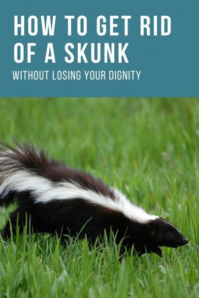 How to Get Rid of a Skunk Without Losing Your Dignity