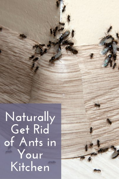 Miraculous Naturally Get Rid Of Ants In Your Kitchen Download Free Architecture Designs Scobabritishbridgeorg