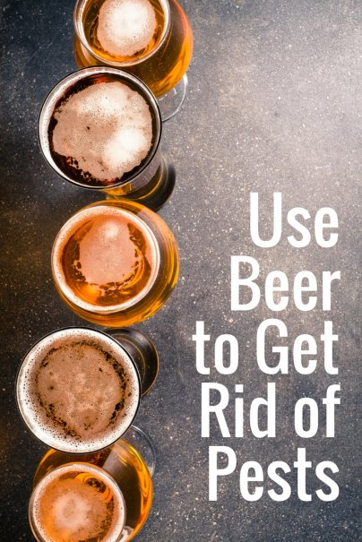 Use Beer to Get Rid of Pests